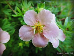 pink potentilla