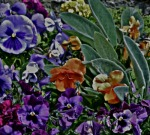Laurie's pansies