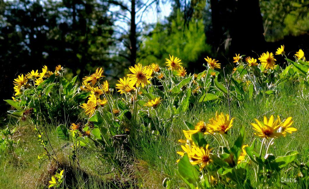 sunflower hill ch MG_1271