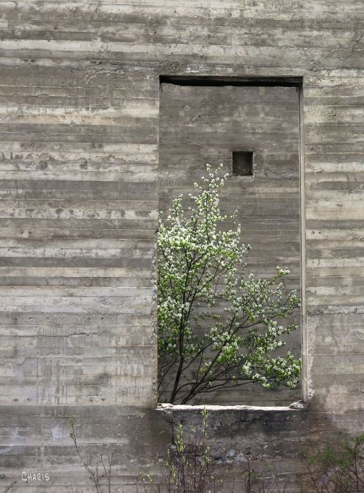 flowering tree grey building window 2  ch IMG_1336